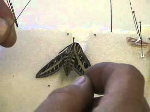 Spreading Lepidoptera (Butterflies & Moths)