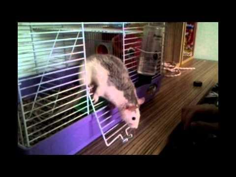 Чем усыпляют крыс в домашних условиях 87
