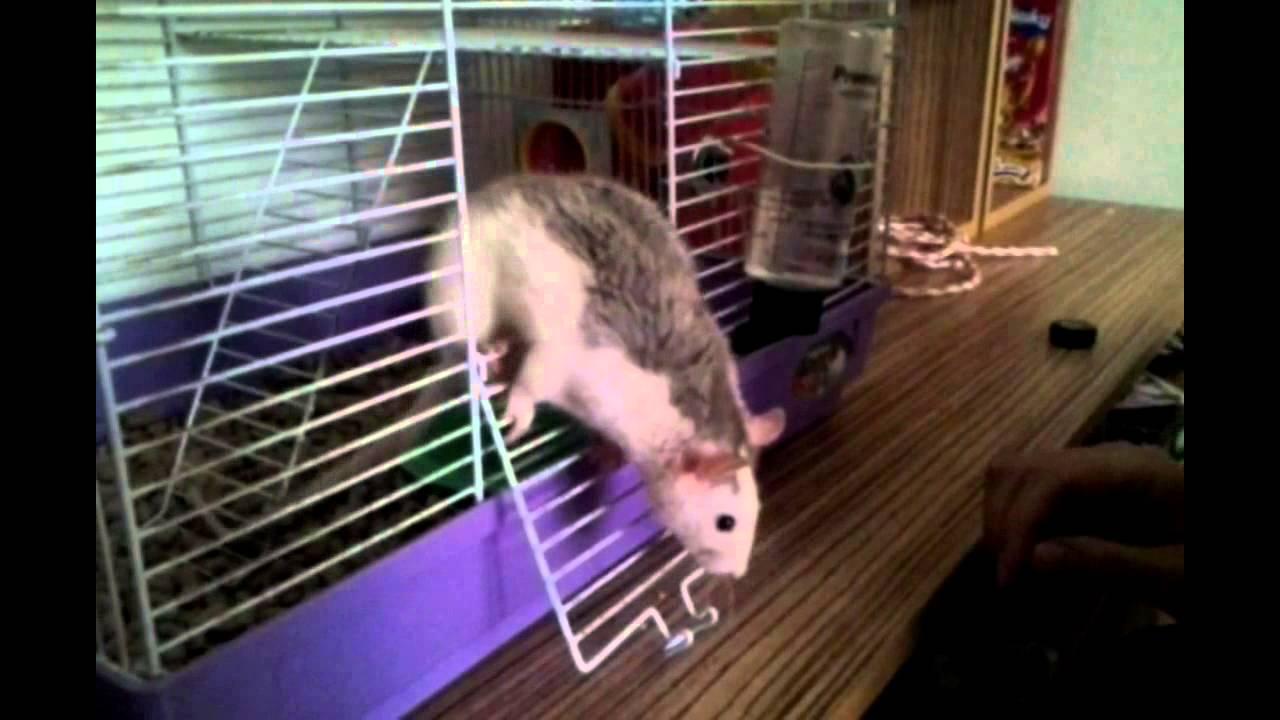 Как сделать чтобы крыса не убежала