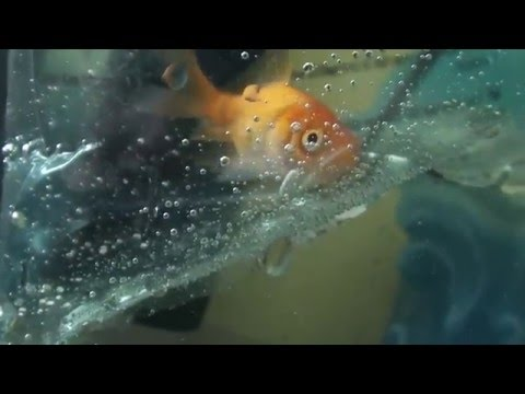 How To: Look after goldfish - Natural World Facts instructional videos