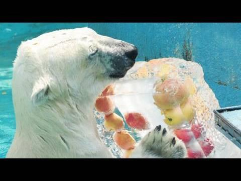 「大暑」の日 シロクマに氷柱プレゼント 大阪
