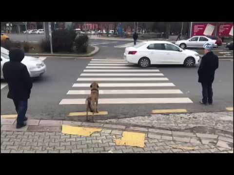Başkentin Akıllı Köpeği Kırmızı Işıkta Durdu, Yeşil Işıkta Geçti