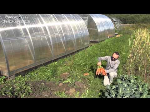 Выращивание морковки в теплице 47