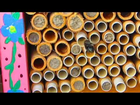 Blue Orchard Mason Bees Blue Orchard Bees