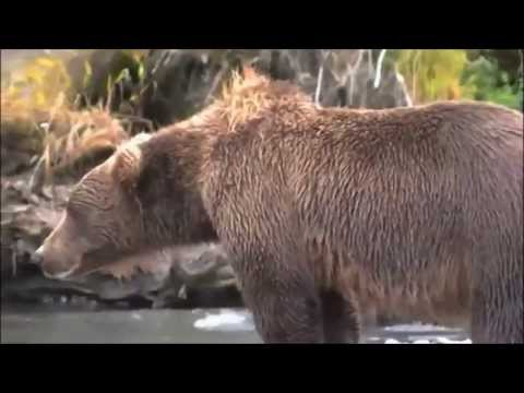 Bear Gets Heart Attack!! Caught On Camera video