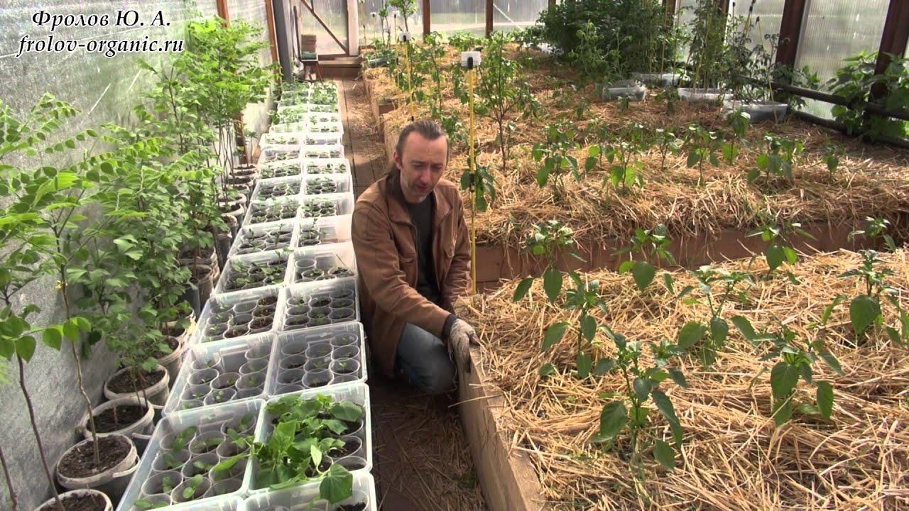 Перец и баклажаны в одной теплице с помидорами и огурцами 66