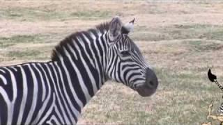 """Why don't we ride zebras"" Children's Documentary"