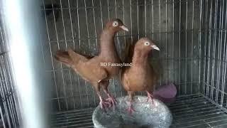 বিভিন্ন ধরনের কবুতরের দাম//Pigeon price