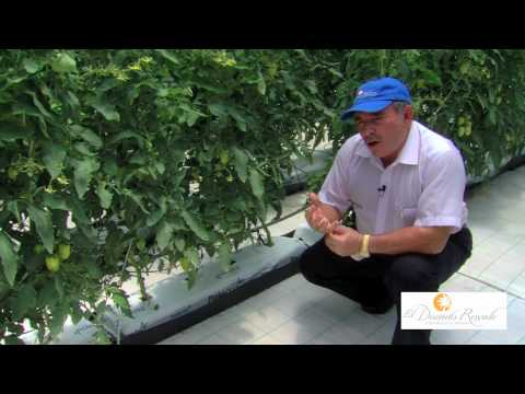 Greenhouse Tour   Part 3   The Hydroponic Difference   El Dorado Royale