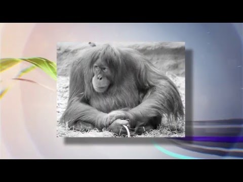 О чём рассказали говорящие обезьяны? 04.02.2016