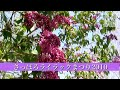 【札幌動画】さっぽろライラックまつり2010