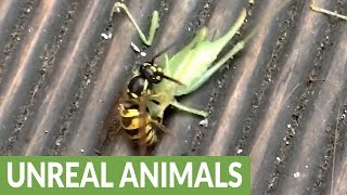 Wasp decapitates cricket, flies off with head