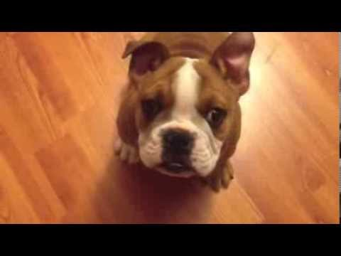 English Bull Dog Puppy!!!