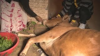 Video: Hindu mobs hunt Cow smugglers to protect the animals at all cost - CNN
