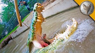 Crocodile Feeding FRENZY!