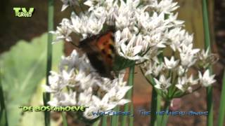 Garlic chives - Chinese bieslook - Allium Tuberosum
