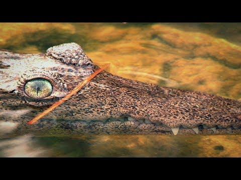 American Crocodile 09, Dangerous Reptiles of America