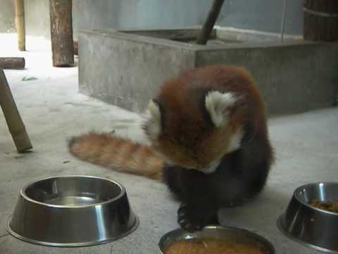 餌を食べるところもかわいいレッサーパンダのココ in 札幌