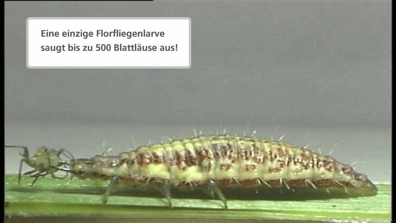 schneckenprofi tv florfliegen larven gegen blattl use. Black Bedroom Furniture Sets. Home Design Ideas