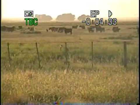 galgos cazando avestruces