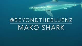 Mako Shark underwater off Kawau Island, New Zealand