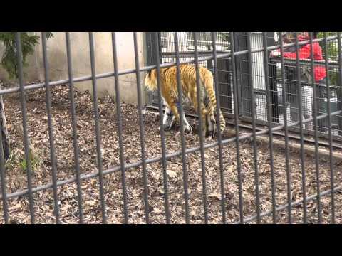 2011年5月7日 旭山動物園 アムールトラの「のん」