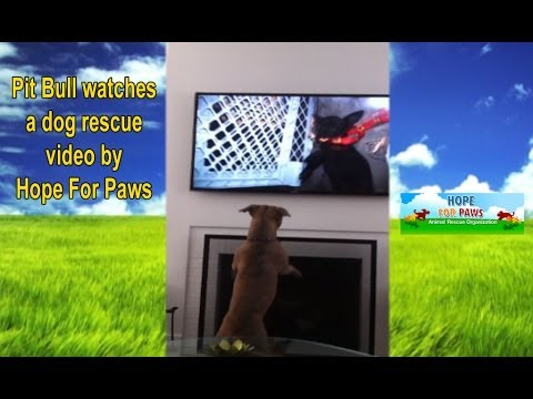 Pit Bull watches a rescue video by Hope For Paws.