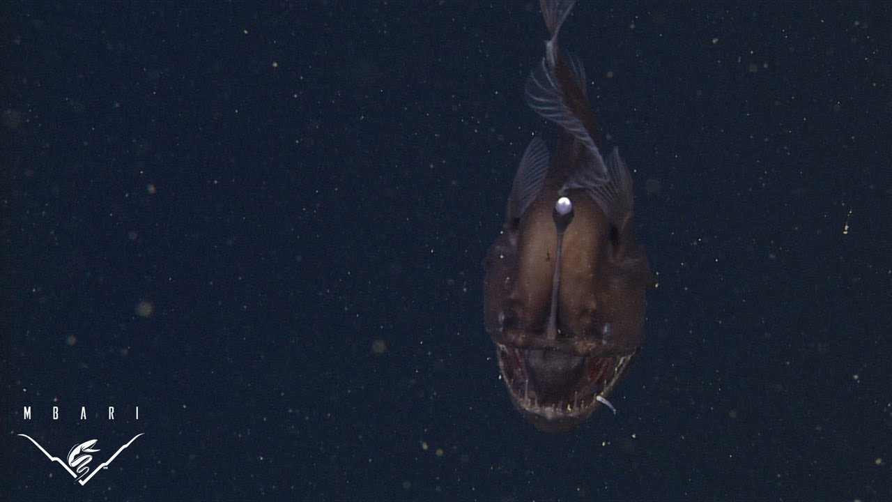 The anglerfish the original approach to deep sea fishing for What is an angler fish