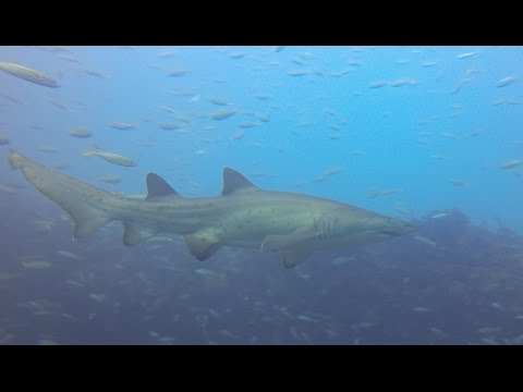 Shark dive in Sydney Australia with Grey Nurse - Sand Tiger Sharks