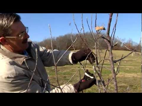 Pruning Fruit Trees: Main Leader