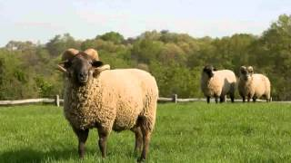 Sheep -  Images