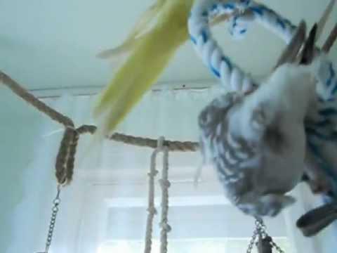 Gelbwangen Nymphensittich Sittiche Zahm bei Freiflug Morgens