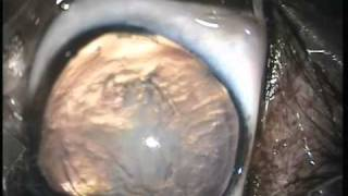 Dog Cataract Surgery - Animal Eye Care, Melbourne