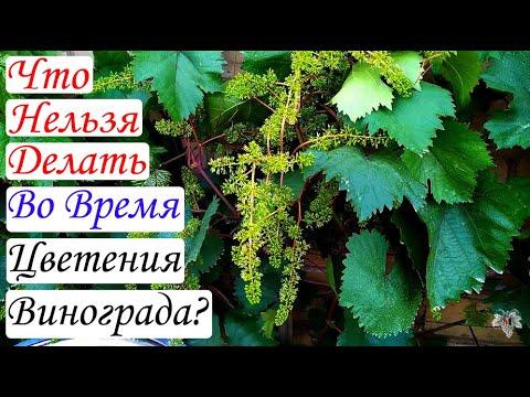 Чего категорически нельзя делать на винограднике в период цветения. Виноград 2018.