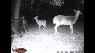 Deer in our back yard.  Many Many Deer!! Game Camera Footage