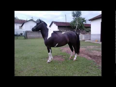 Égua Pônei Pampa de Preto