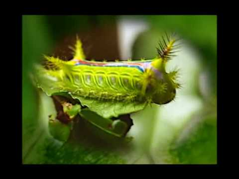 Various Caterpillars of Butteflies and Moths Video