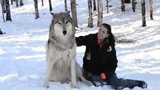 WOLF APPROACHES WOMAN IN THE WOODS AND SITS DOWN BUT WATCH HIS NEXT MOVE