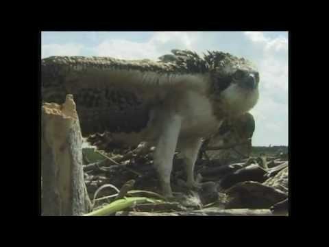 Скопа/Osprey таскает в гнездо рыбу