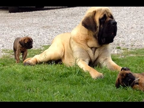 Do you want to breed Mastiffs?