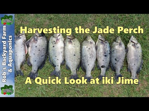 Harvesting The Jade Perch, A Quick Look At Iki Jime..