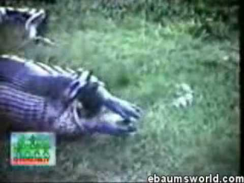 snake swallowed a hippo Video