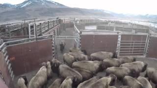 The Buffalo Trap