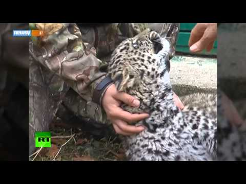 Rare Big Cat Numbers Rising On The Russia-China Border