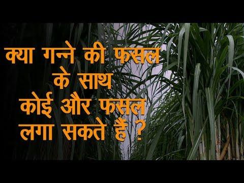 Ganne Sugarcane ki Kheti Ke Sath Sahfasli Kheti Green TV
