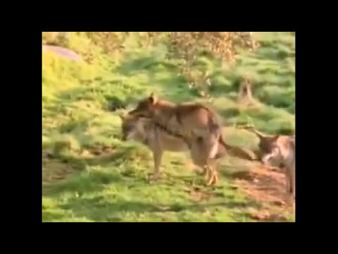 Lion and Wolf Mating Breeding