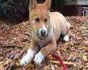 Meet 'Blue' An Australian Alpine Dingo Video