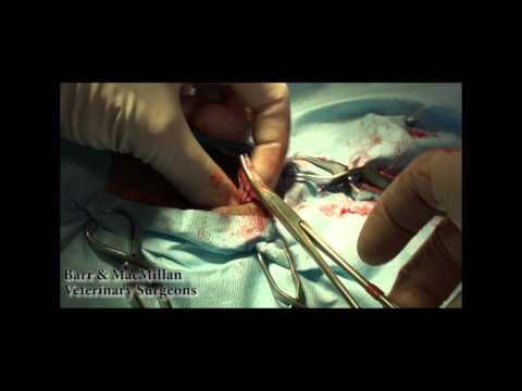 Dog Spay , Ovarohysterectomy. Detailed surgical video in HD