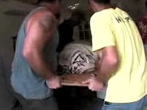 White Tiger Surgery - Big Cat TV Video