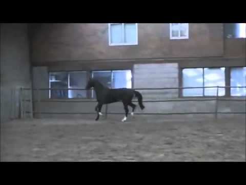 **SOLD** Tangelo x Habsburg x Able Albert x Legaat ~ Moving loose/standing video